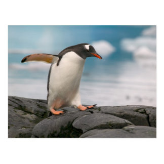 Gentoo penguins on rocky shoreline with backdrop 3 postcard