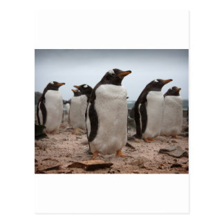 Gentoo penguins postcard