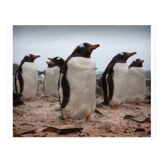 Gentoo penguins postcard