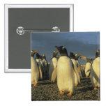 Gentoo Penguins, (Pygoscelis papua), Falkland Buttons