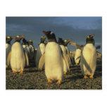 Gentoo Penguins, (Pygoscelis papua), Falkland Postcard