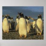Gentoo Penguins, (Pygoscelis papua), Falkland Poster