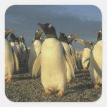 Gentoo Penguins, (Pygoscelis papua), Falkland Sticker