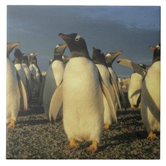 Gentoo Penguins, (Pygoscelis papua), Falkland Tile