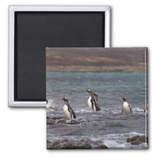 gentoo penguins, Pygoscelis papua, jumping out 2 Inch Square Magnet