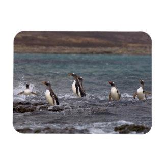 gentoo penguins, Pygoscelis papua, jumping out Rectangular Photo Magnet