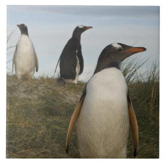 Gentoo Penguins (Pygoscelis papua), Keppel Tile