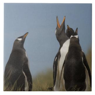 Gentoo Penguins (Pygoscelis papua) looking up, Ceramic Tile