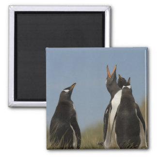 Gentoo Penguins (Pygoscelis papua) looking up, Magnet