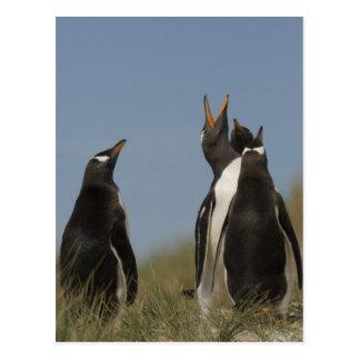 Gentoo Penguins (Pygoscelis papua) looking up, Postcard