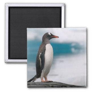 Gentoo penguins Pygoscelis papua on rocky Magnet