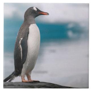 Gentoo penguins Pygoscelis papua on rocky Tile
