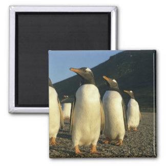 Gentoo Penguins, Pygoscelis papua), sunset, Magnet