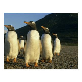 Gentoo Penguins, Pygoscelis papua), sunset, Postcard