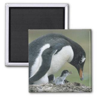 Gentoo Penuin, (Pygoscelis papua), Falkland Magnet