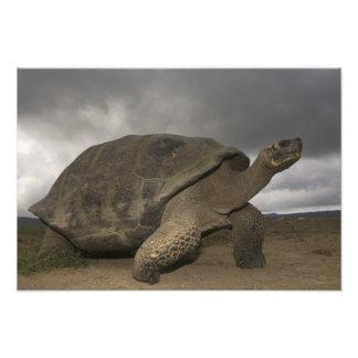 Geochelone de la tortuga gigante de las Islas Galá Cojinete