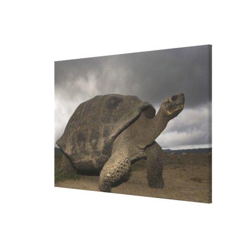 Geochelone de la tortuga gigante de las Islas Galá Impresión De Lienzo