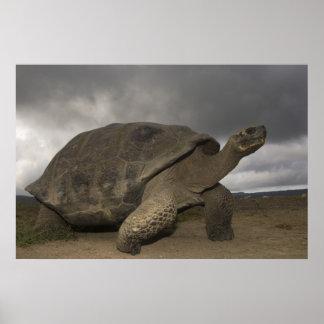 Geochelone de la tortuga gigante de las Islas Galá Impresiones