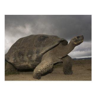 Geochelone de la tortuga gigante de las Islas Galá Tarjeta Postal