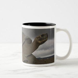 Geochelone de la tortuga gigante de las Islas Galá Taza Dos Tonos