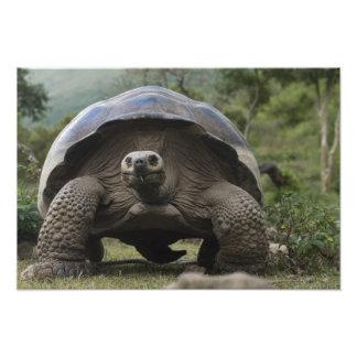 Geochelone de las tortugas gigantes de las Islas G Cojinete