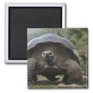 Geochelone de las tortugas gigantes de las Islas G Imán Cuadrado