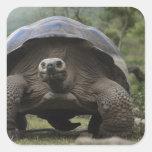 Geochelone de las tortugas gigantes de las Islas G Calcomania Cuadradas