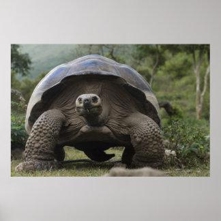Geochelone de las tortugas gigantes de las Islas G Póster