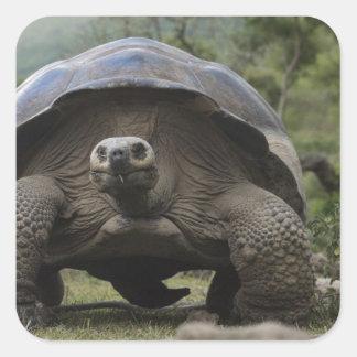 Geochelone de las tortugas gigantes de las Islas Pegatina Cuadrada