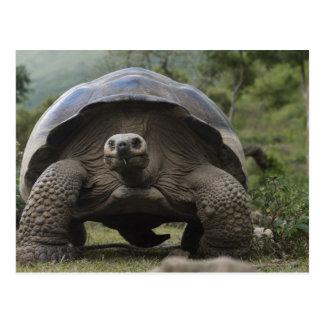 Geochelone de las tortugas gigantes de las Islas Postal