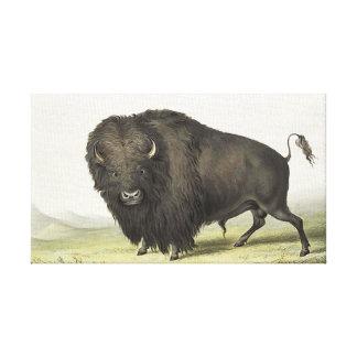 George Catlin - Buffalo Bull Grazing Native Indian Canvas Print