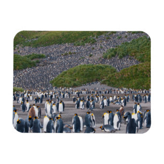 Georgia del sur. Llano de Salisbury. Pingüinos de Imán Rectangular