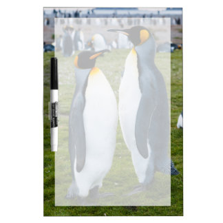 Georgia del sur. Llano de Salisbury. Pingüinos de Pizarras Blancas