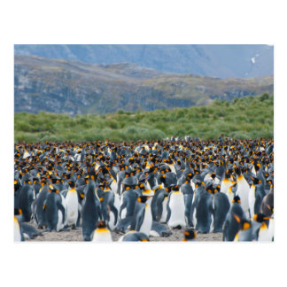 Georgia del sur. Llano de Salisbury. Pingüinos de Tarjeta Postal