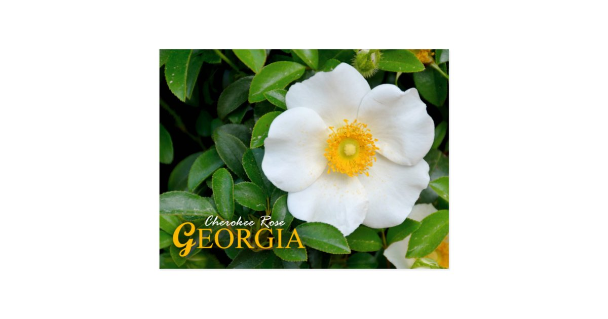 Georgia State Flower: Cherokee Rose Postcard | Zazzle.com