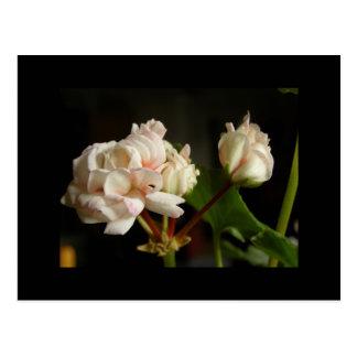 Geranio 'Denise del capullo de rosa Tarjetas Postales