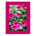 Geranio rosado tarjetas postales
