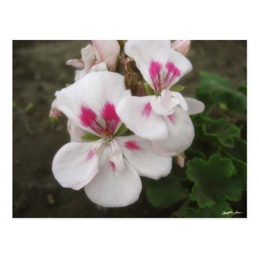 Geranios blancos y rosados 1 postal