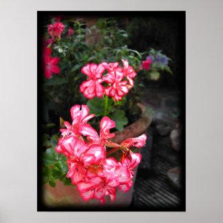 Geranios. Flores del Pelargonium Póster