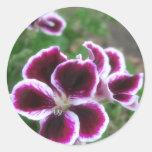 Geranios púrpuras y blancos 1 etiqueta redonda