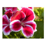 Geranios rosados vibrantes postales