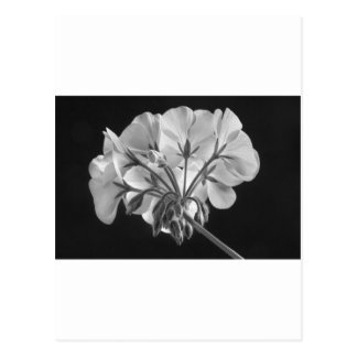 Geranium Flower In Progress Black and White Postcard