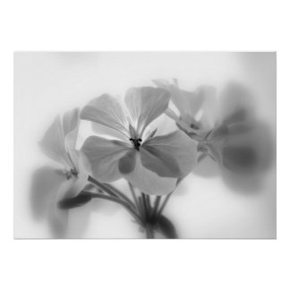 Geraniums in Black and White Poster