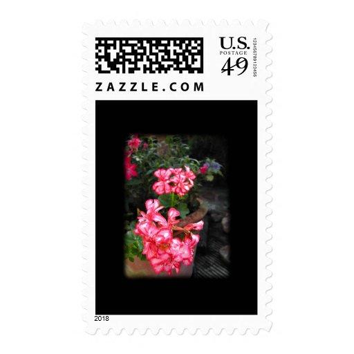 Geraniums. Pelargonium flowers. Postage Stamp