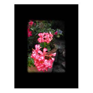 Geraniums. Pelargonium flowers. Postcard