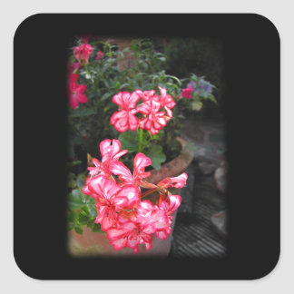 Geraniums. Pelargonium flowers. Square Sticker