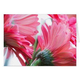 Gerber Daisies Blank Greeting Card