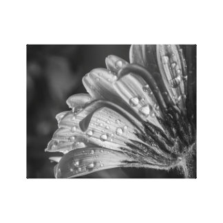 GERBER DAISY IN BLACK AND WHITE by Michelle Diehl Canvas Print