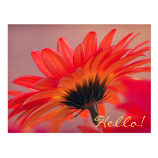 Gerber Daisy Photo Postcard