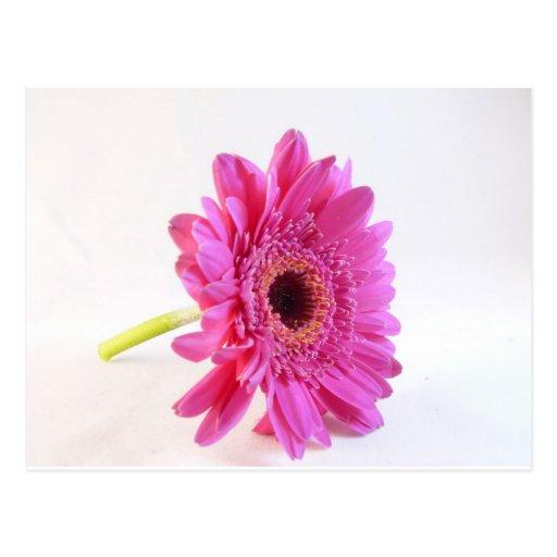 gerber rosado en blanco postales